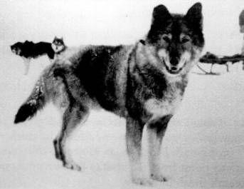Seppala S Togo Famous Dogs Dogs Rare Dog Breeds