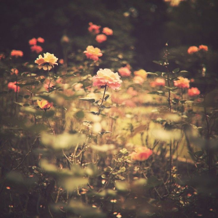 One Rose In A Magic Garden Vintage Flower Photography Art Print Flower Photography Art Flowers Photography Flowers