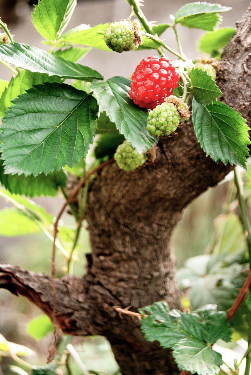 Blackberry #Berry #Mora #Fruit | My Garden | Pinterest | Blackberry ...