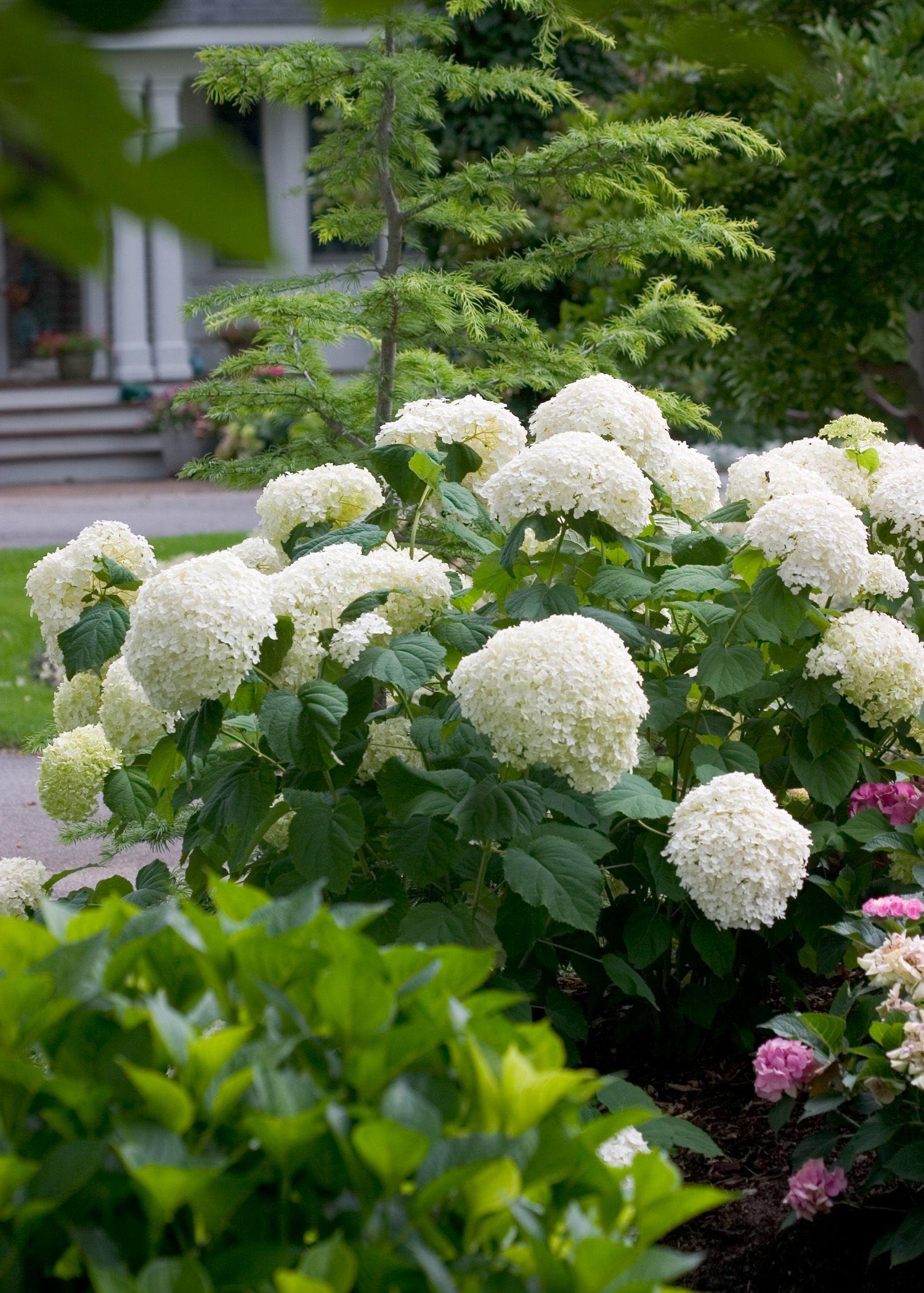 Pin By Revival Market On Wv Garden Smooth Hydrangea Incrediball Hydrangea Hydrangea Arborescens
