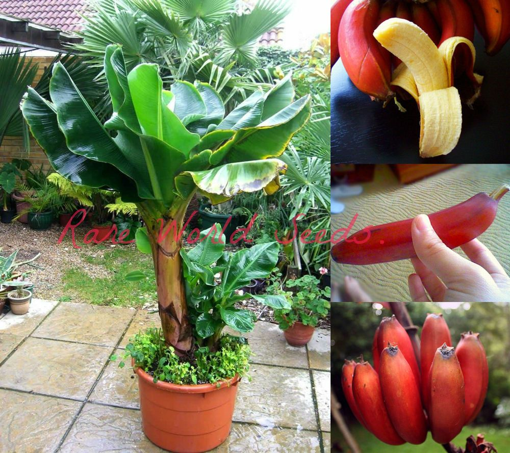 Dwarf Beautiful And Delicious Red Banana Small Tree Musa Dwarf Red