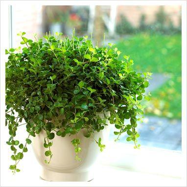 Peperomia rotundifolia - Rotterumpe - Piperaceae - Pepperfamilien - STUE