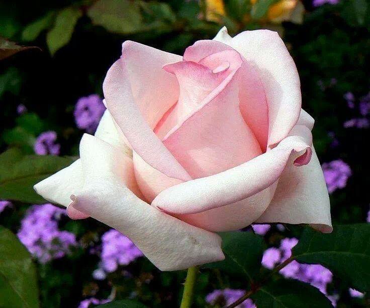 Rosa claro y florecilla morada