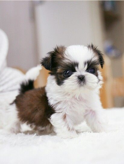 Sweet Teacup Shih Tzu Puppies Dm Or Email Us At