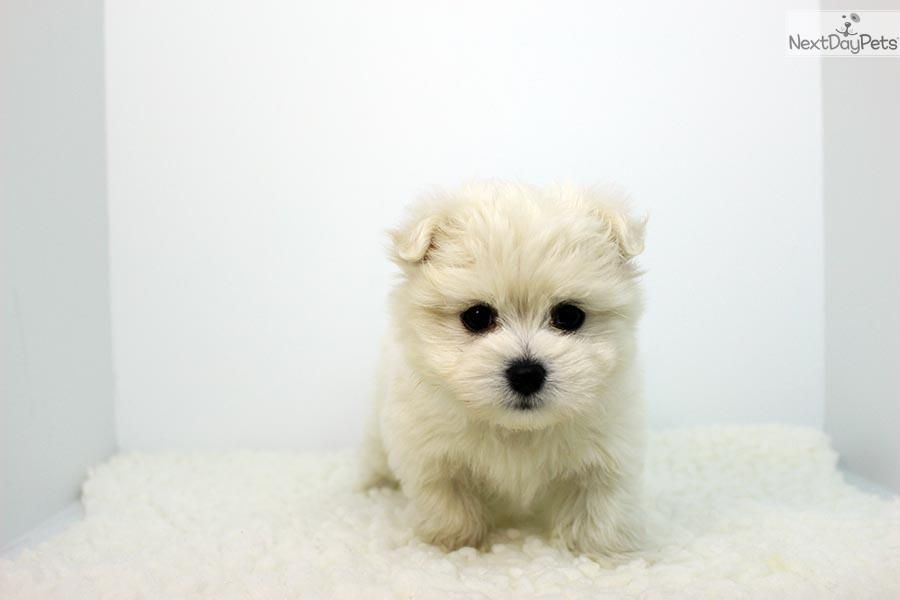 Malti Pom Maltipom Puppy For Sale Near Los Angeles California