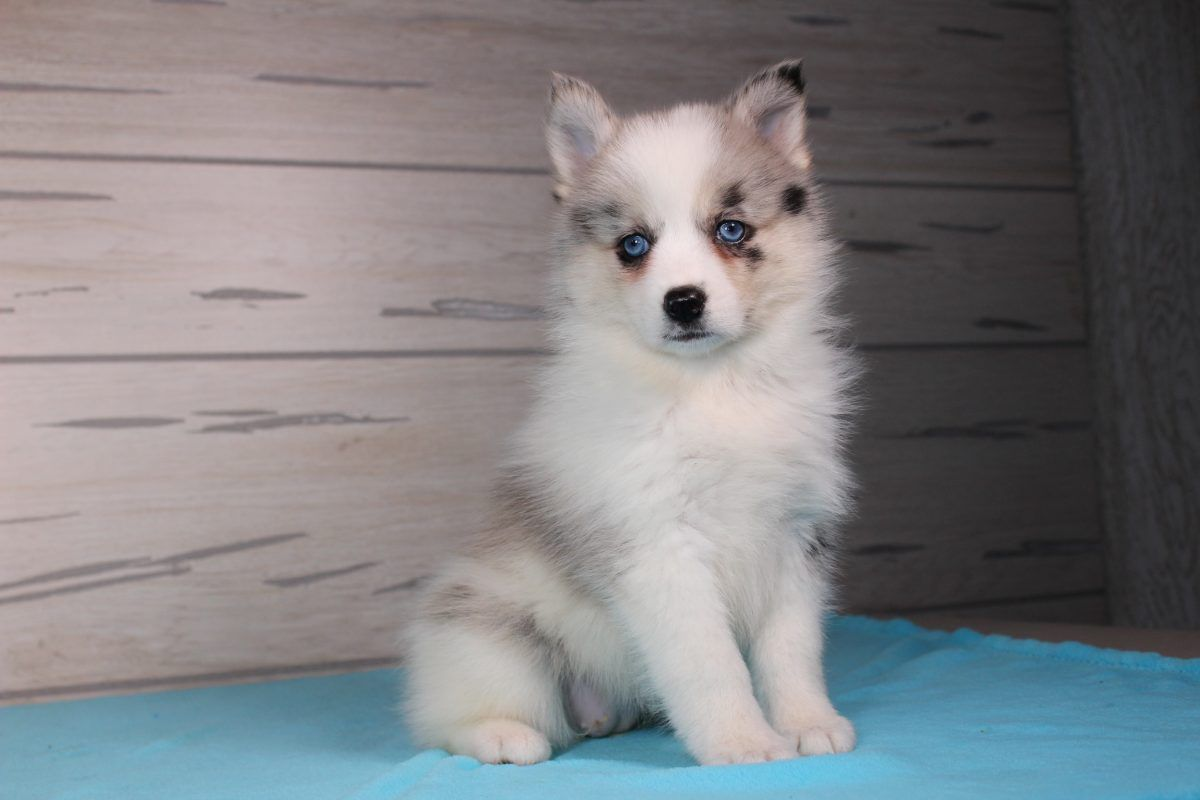 Addica Puppies, Pomsky puppies, Pomsky puppies for sale