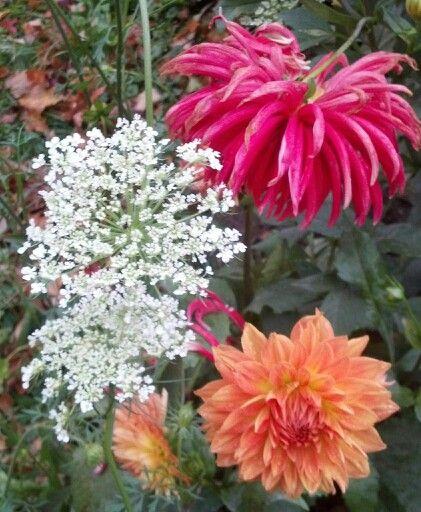 Fall dahlias and Queen Ann's Lace.