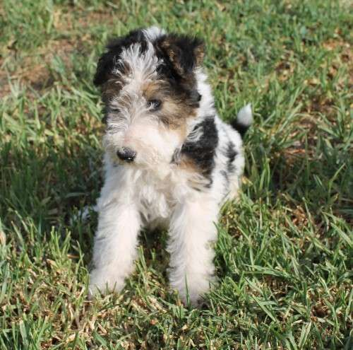 We have an 11 week old Female Purebred Wire Haired Fox Terrier Puppy still available for her new forever home. She has had her 1st and 2nd vaccination needles, is microchipped, wormed regular with Drontal, has had her monthly flea treatment done (Advantage) and has passed two vet checks on vaccination. She is a healthy, active, playful puppy looking for an active family to love her. Happy to - https://www.pups4sale.com.au/dog-breed/431/Fox-Terrier.html