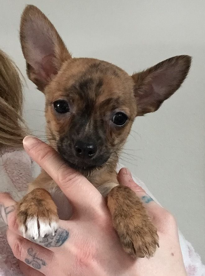 Chihuahua X Italian Greyhound Pup Acocks Green West Midlands