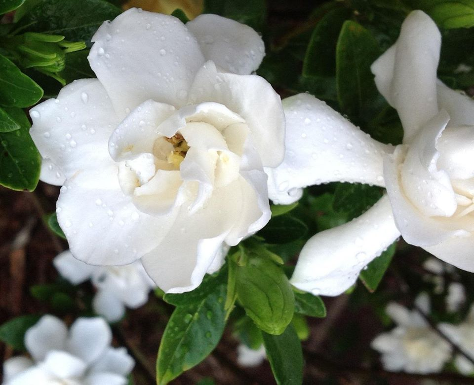 My Sister In Law Taught Me How To Make Gardenias Bloom All Summer