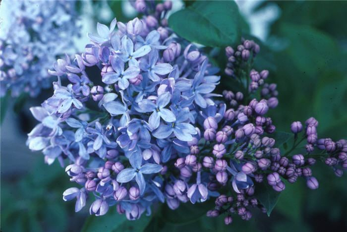 Pin By Coco On Hochzeit In 2020 Lilac Varieties Flowers Perennials Hardy Perennials