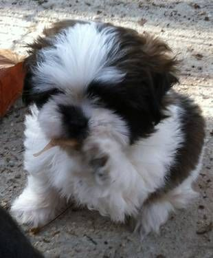 9 Wk Shih Tzu Puppy Looked Like My Chico As A Puppy Shih Tzu