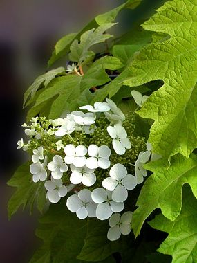 "Hydrangea Little Honey-- Bright gold foliage contrasts beautifully with dark stems. Spring foliage will darken to chartreuse for the summer, then bright red in the fall. White flowers (6"") in mid summer--3' to 4' tall"
