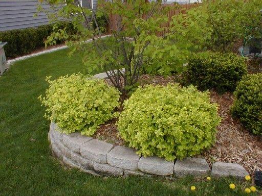 Moonshadow Euonymous With Images Outdoor Backyard Garden