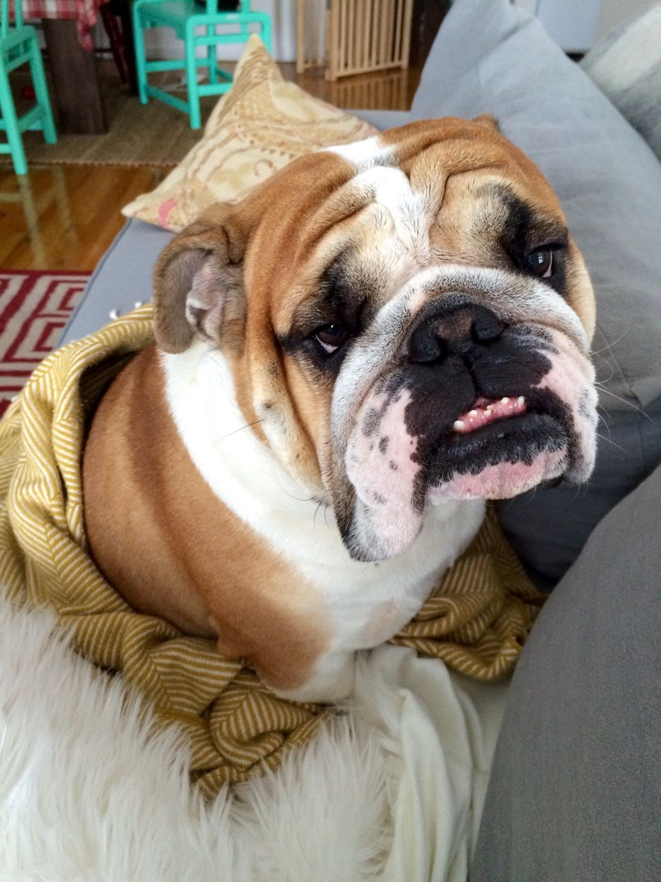Bulldog Puppies For Sale –What to Look for When Buying a Bulldog Puppy