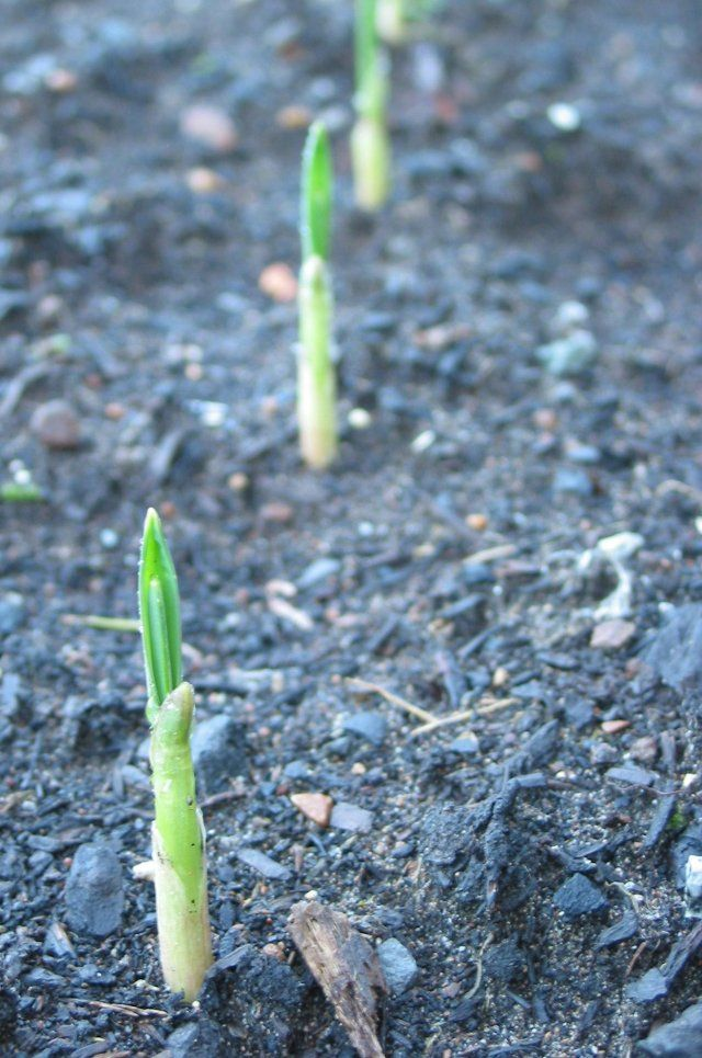 foods you can regrow garlic Plants, Veggie garden, Garden
