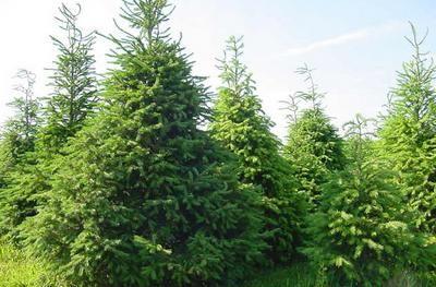 Delaware Christmas Tree Growers Association Evergreen Farms Christmas Tree Farm Tree Farms Evergreen