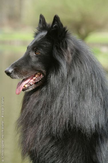 Long Haired Black Belgian Puppies For Sale Google Search Belgian Shepherd Black German Shepherd Dog Purebred Dogs