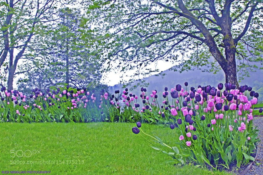 Sweet april showers do spring may flowers by stillsstudio nature sweet april showers do spring may flowers by stillsstudio mightylinksfo