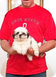 South Euclid Oh Maltese Shih Tzu Mix Meet Walter A Puppy For
