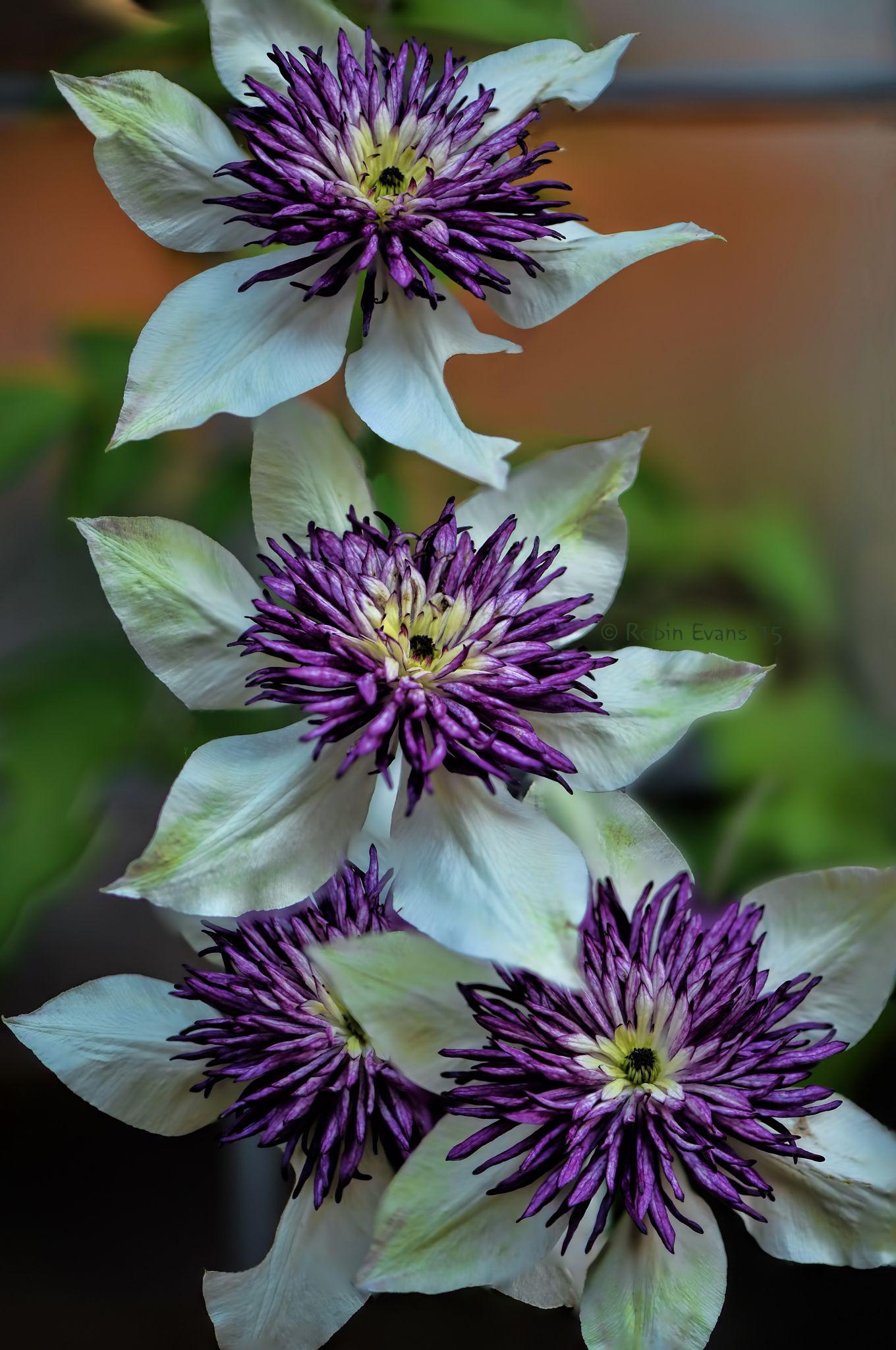 Florida sieboldii clematis Çiçekler flowers pinterest