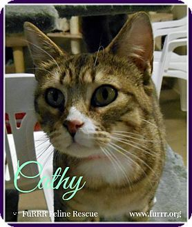 Gonic, NH - Domestic Shorthair. Meet Cathy, a cat for adoption. http://www.adoptapet.com/pet/17977296-gonic-new-hampshire-cat