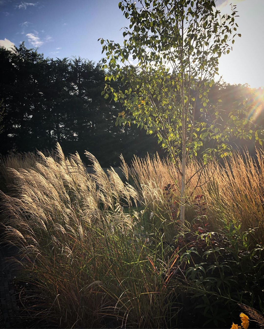 Miscanthus And Calamagrostis In The Late Afternoon Sun Caught