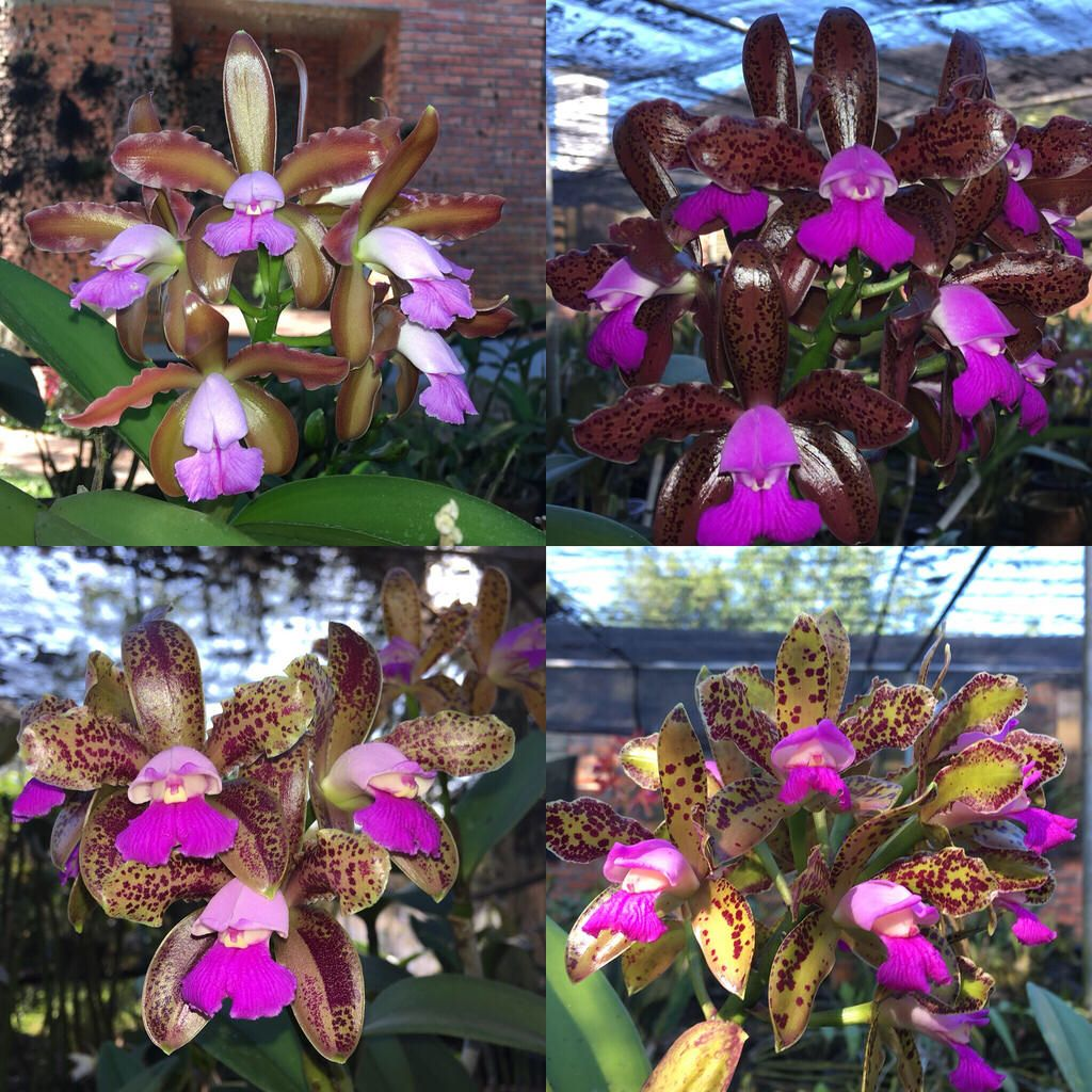 Cattleya tigrina orchidees pinterest orchid and flowers