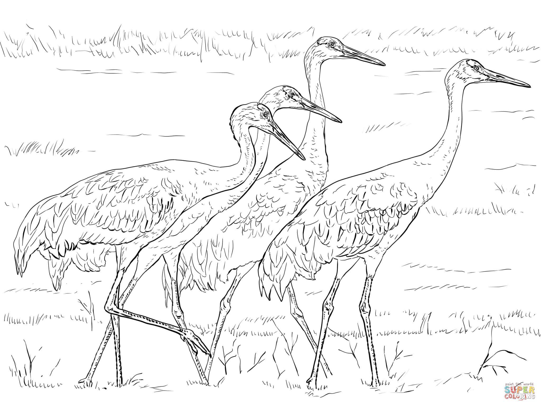 Four Sandhill Cranes Super Coloring Coloring Pages Owl