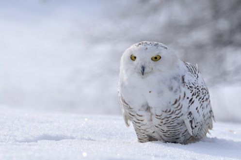 Snowy owls' feathers help camouflage them in the Arctic tundra regions where they live, such as Alaska and Norway. They're usually not completely white, and females have more dark markings. With their amazing hearing, they can zero in on prey -- even when it's hiding under snow or bushes!