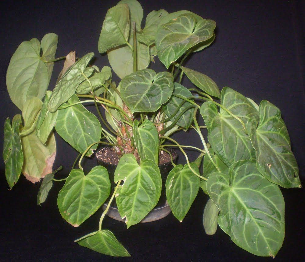 Plants With Heart Shaped Leaves   Make Sure To Visit GardenAnswers.com And  Download Our · Plant IdentificationHouse ...