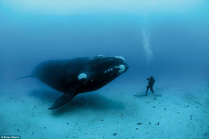 ホッキョク クジラ - 海人の深深...