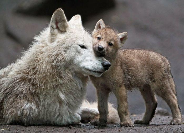 Mutter und Baby Wölfe, die süßesten Tierbabys der Welt, zahlreiche Bilder, die Tierwelt näher kennenlernen