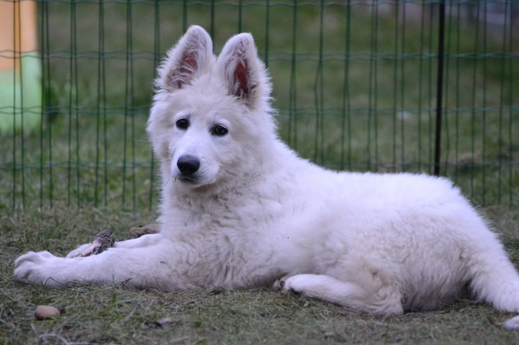 Long Haired White German Shepherd Google Search White German