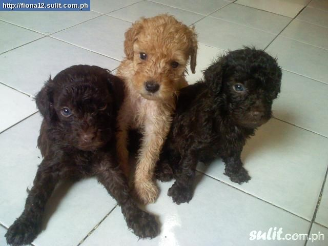 Photographs Of Miniture Poodles Toy Poodles And Mini Poodles For