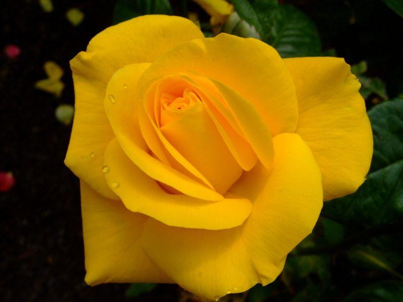 Rose Rose Yellow Roses Flowers