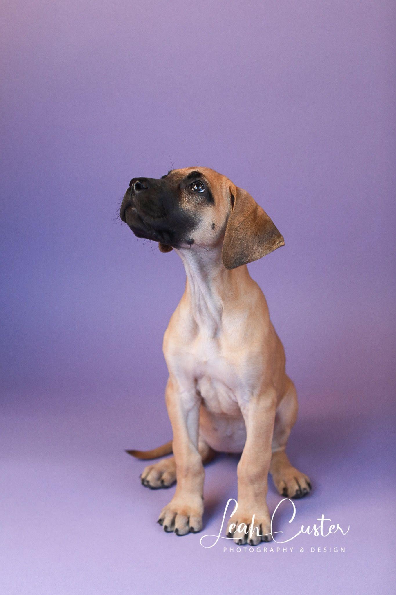 Great Dane Puppy Great Dane Puppy Dane Puppies Newborn Portrait
