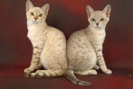 Australian Mist Cat History and Development Pretty