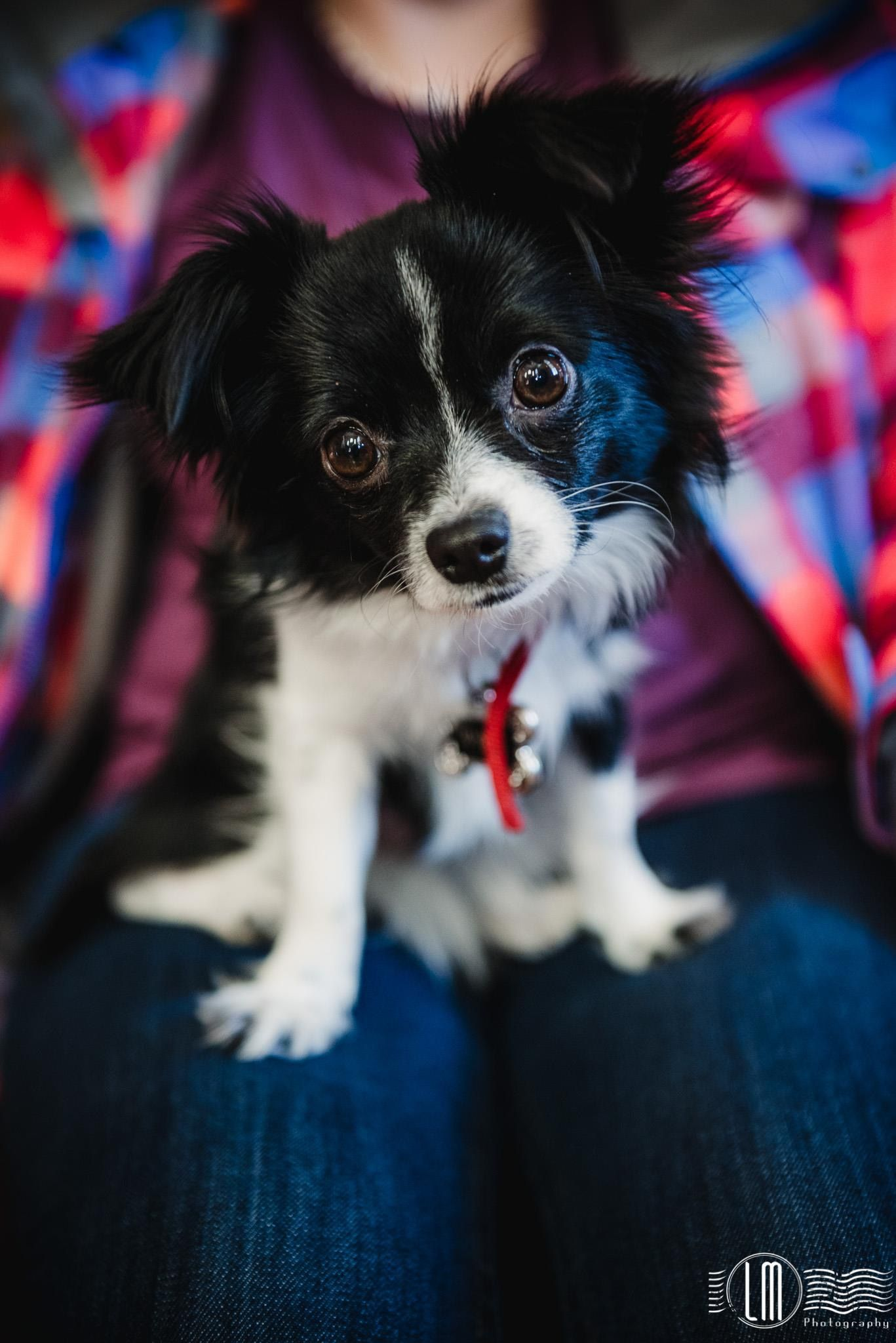 Aussiehuahua Puppy Cute Dogs Australian Shepard Puppies
