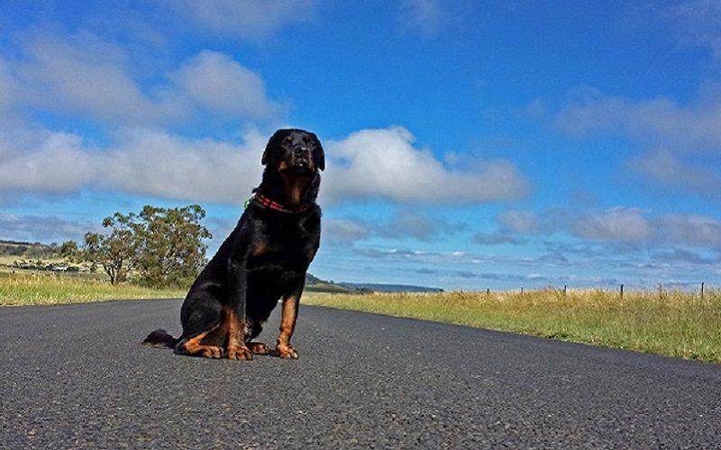 Dog diarrhea home remedies road trip with dog dog upset