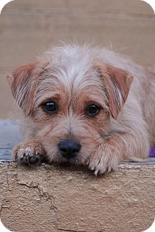 Lennox Cairn Terrier Jack Russell Terrier Mix I Am Already