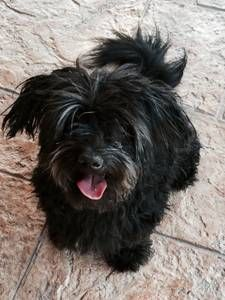 Phoenix Pets Craigslist Dog Adoption Havanese Petco