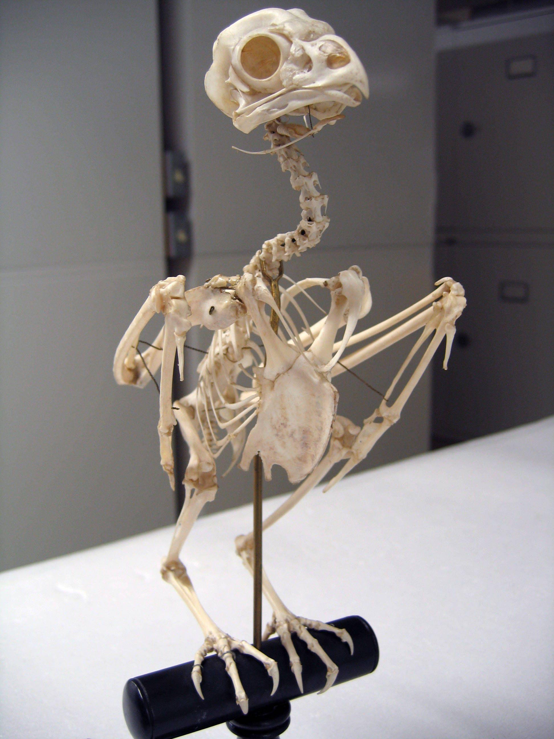 Asio flammeus, Short eared Owl mounted skeleton ... - photo#13