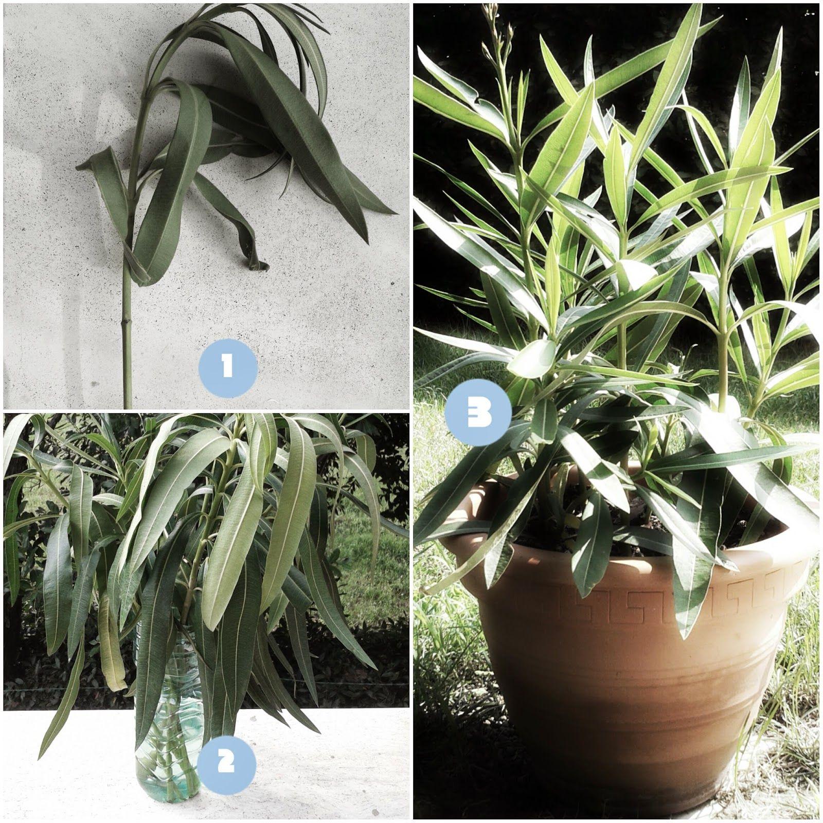 Fare Talee Di Oleandro moltiplicare l'oleandro per talea (con immagini) | fiori