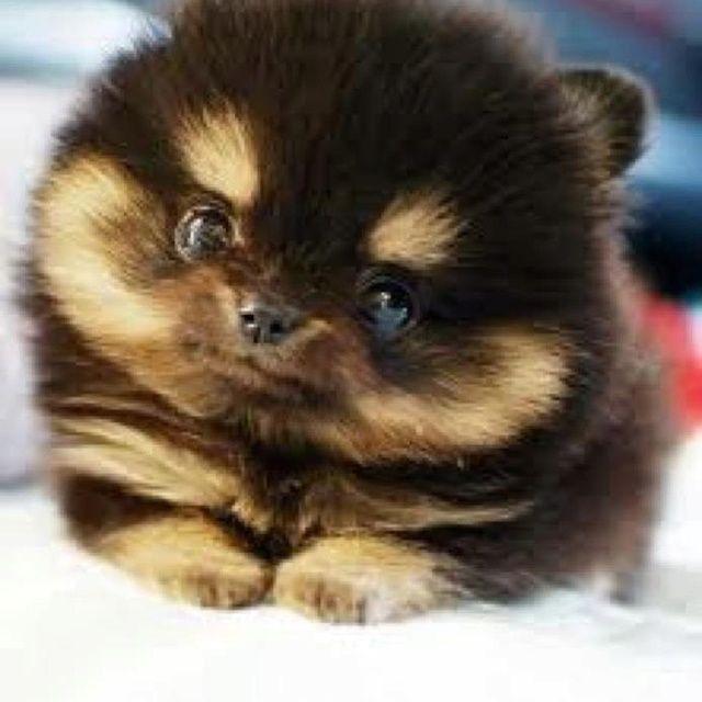 pomeranian mix | pitbull pomeranian mixPomsky Pomeranian ...