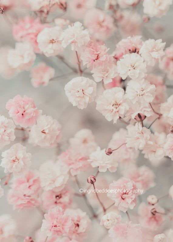 Baby S Breath Photography Gypsophila Print Flower Print Etsy Flower Aesthetic Pink Flowers Wallpaper Pink Flowers Background Flower wallpaper light pink background