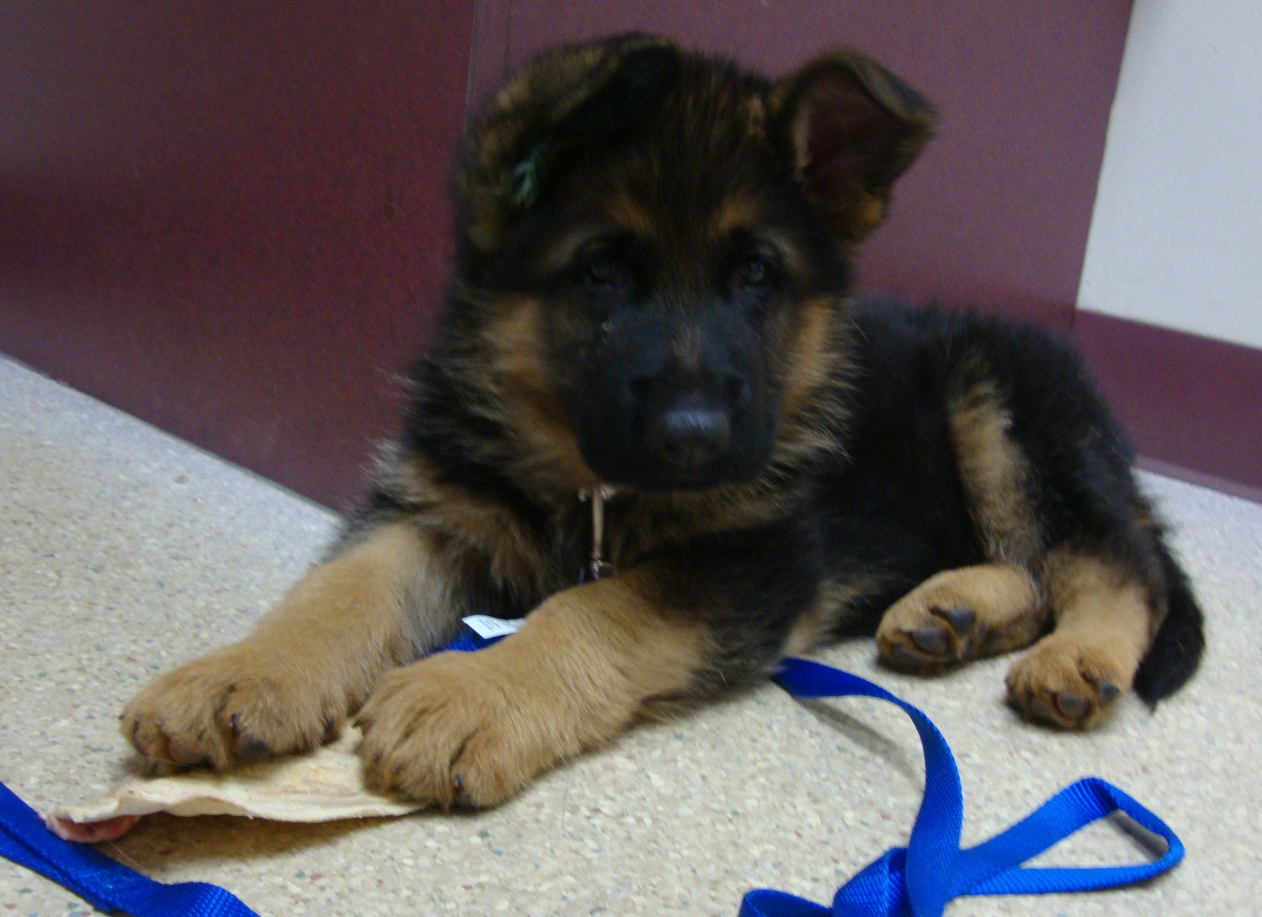 Hans Is An 8 Week Old German Shepherd Gsd Puppies German