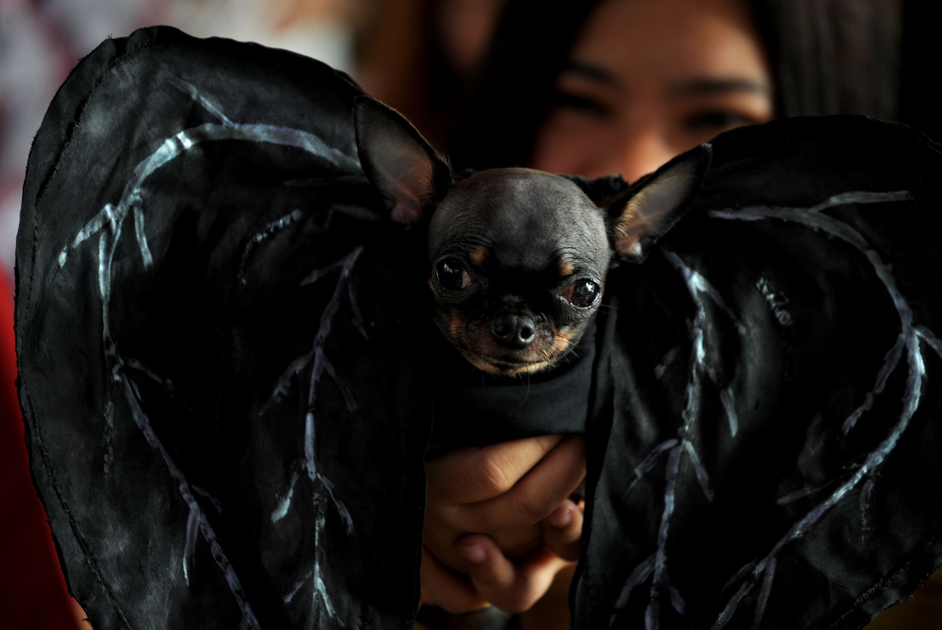 Chihuahua Dressed As A Bat For Halloween With Images Dog