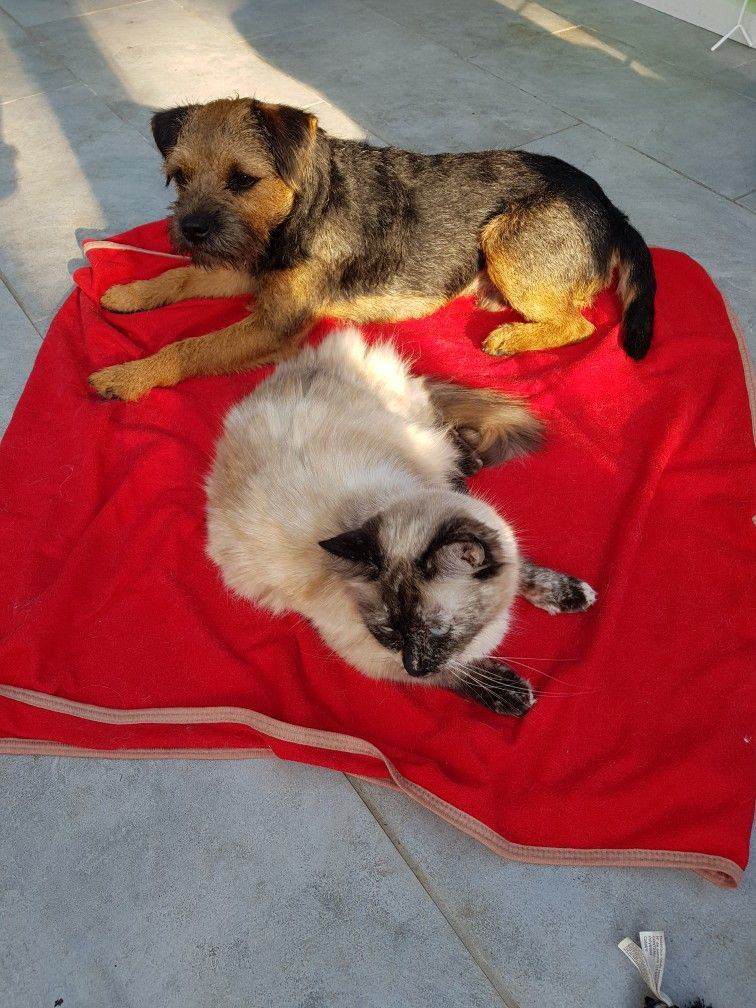 Pin By Tonya Hemphill On Border Terriers Ragdoll Cat
