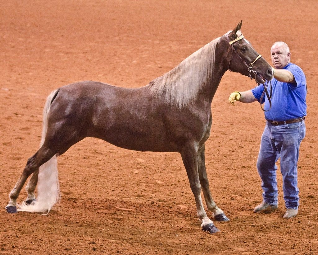 11 Facts About The Tennessee Walker Horse Breeds Tennessee Walker Horse Tennessee Walking Horse [ 819 x 1024 Pixel ]